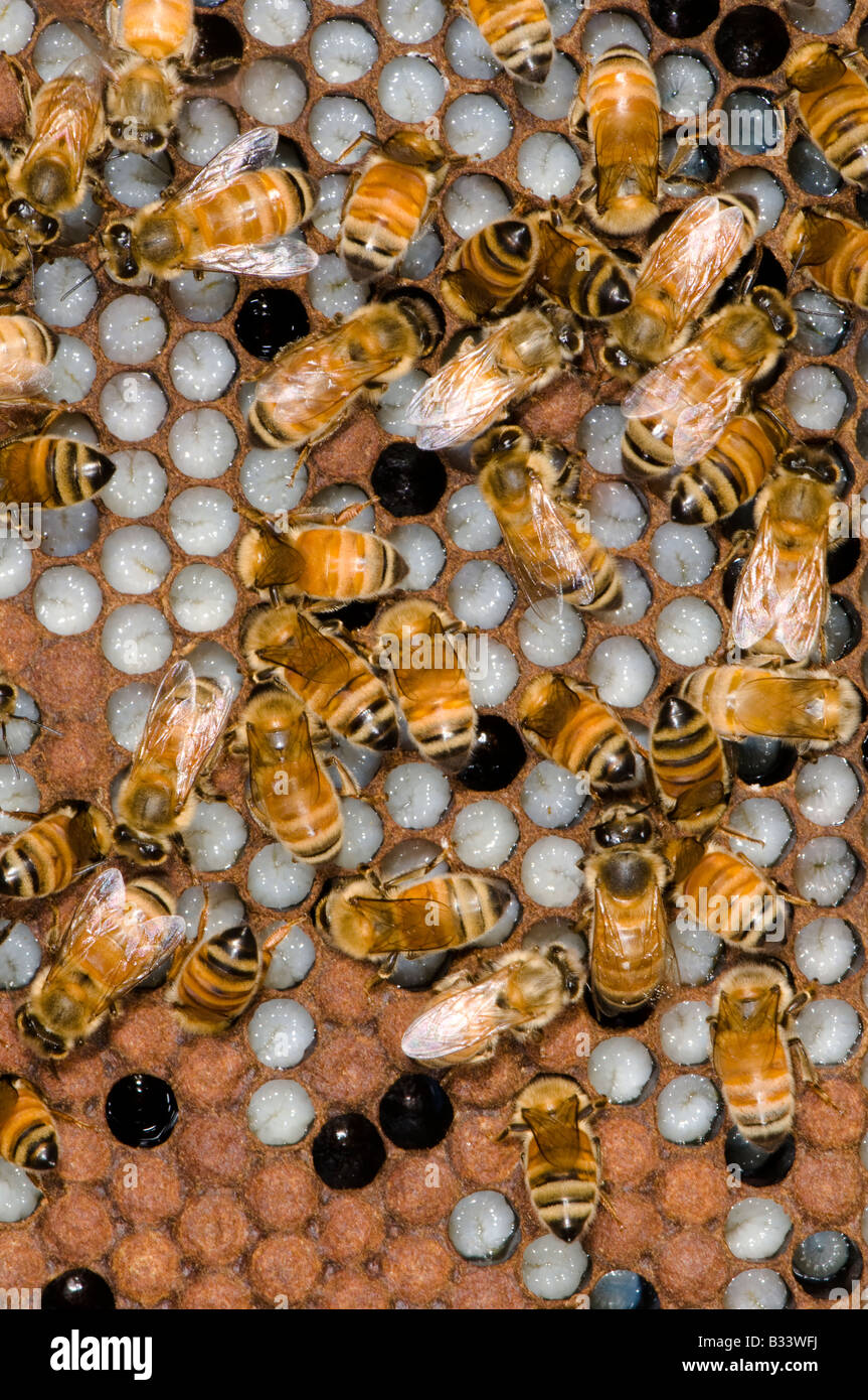 honey bees on honeycomb in a hive - Stock Image