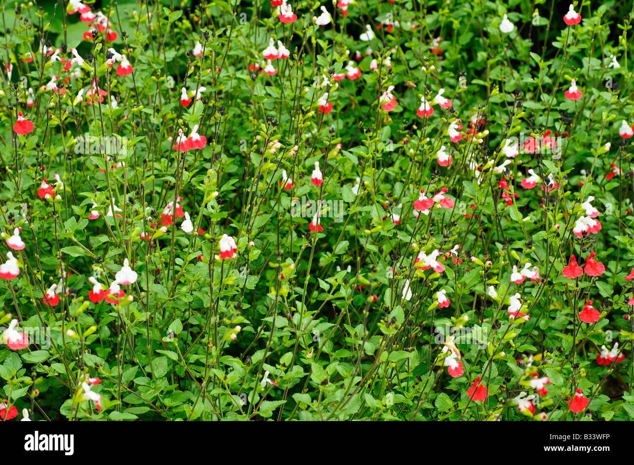 Red White Salvia Stock Photos Red White Salvia Stock Images Alamy