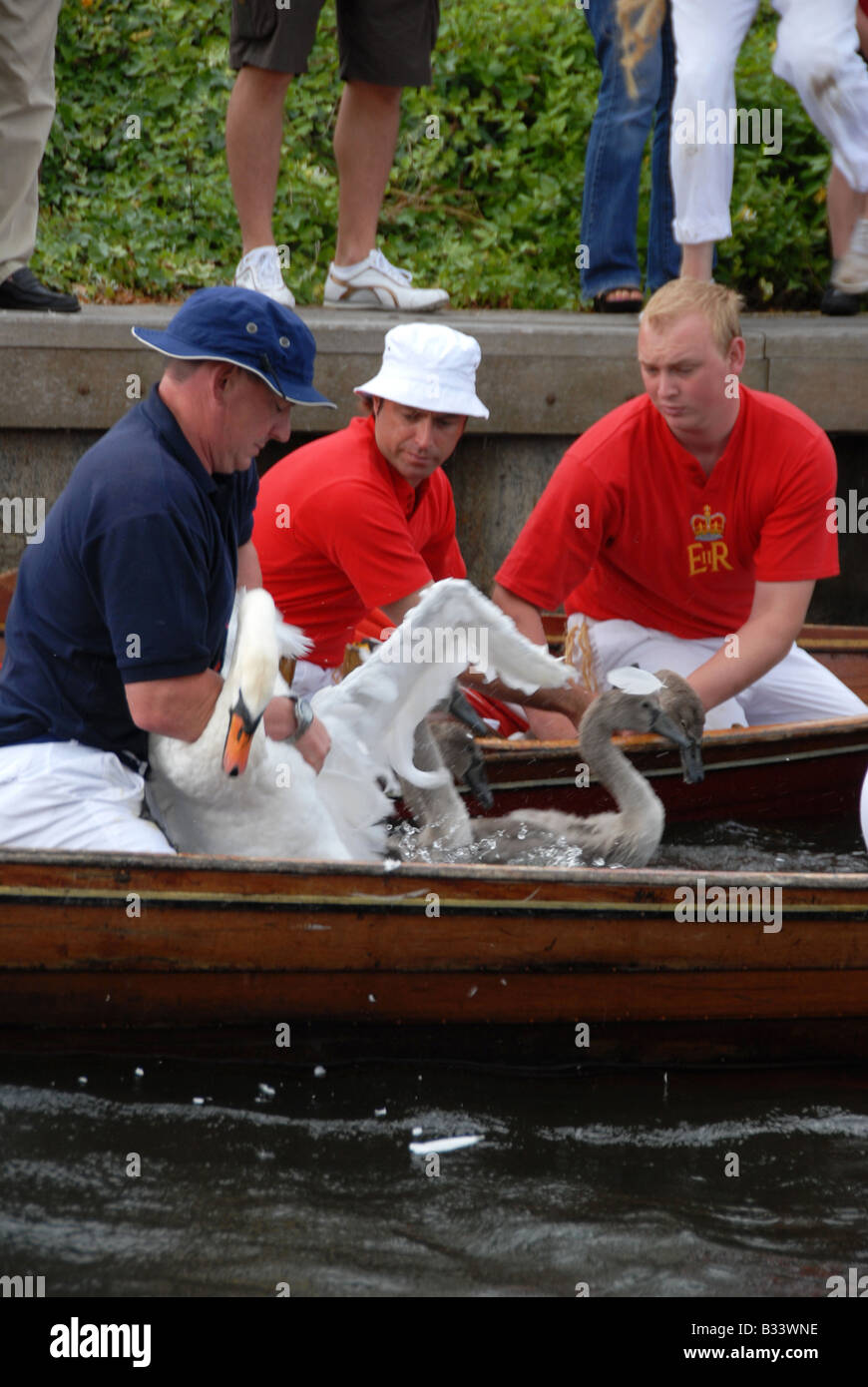 Members of the Swan Upping team take hold a swan and her cygnets for a health check on the River Thames - Stock Image