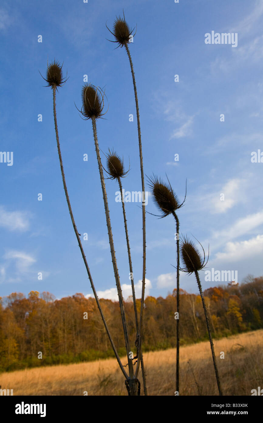 Teasel Plant (Dipsacus fullonium) against a blue autumn sky with golden light falling across the landscape. - Stock Image