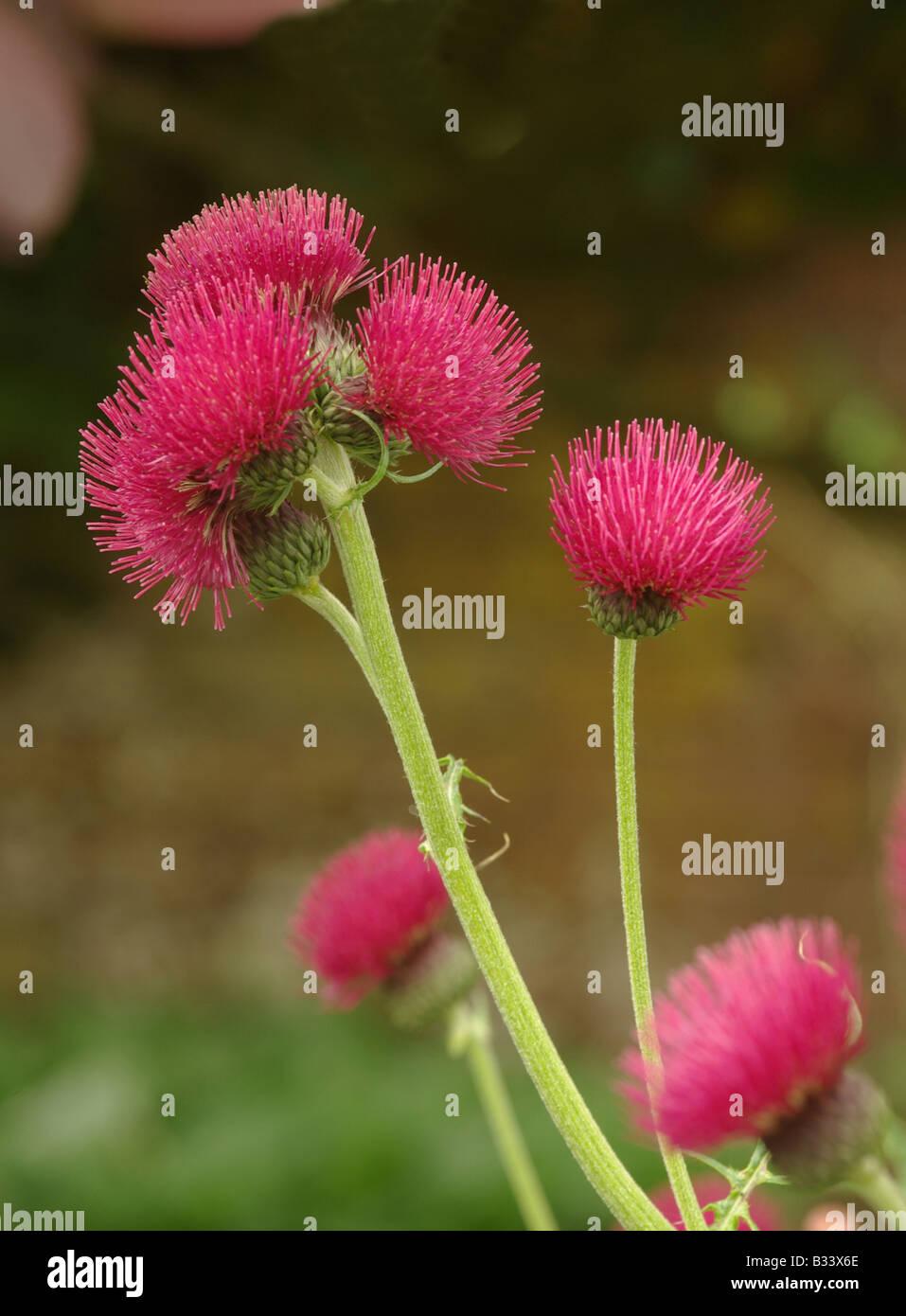 Cirsium rivulare atropurpureum - Stock Image