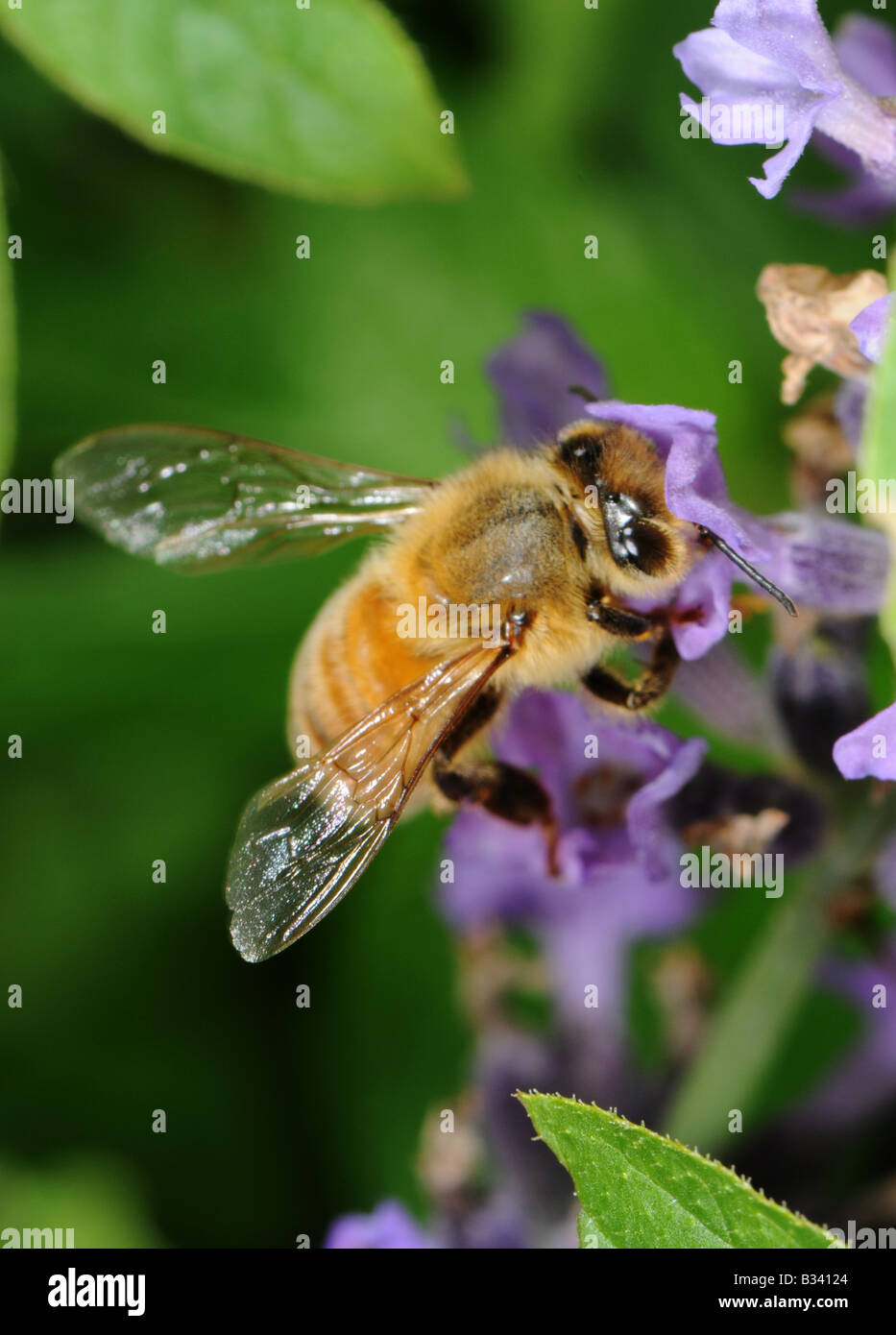 honey bee foraging on lavender - Stock Image