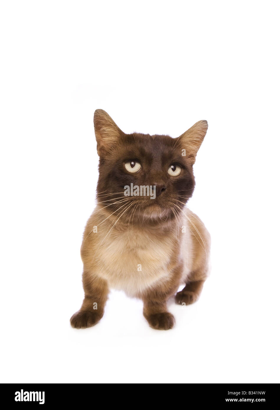 Cute chocolate point Munchkin cat isolated on white background - Stock Image