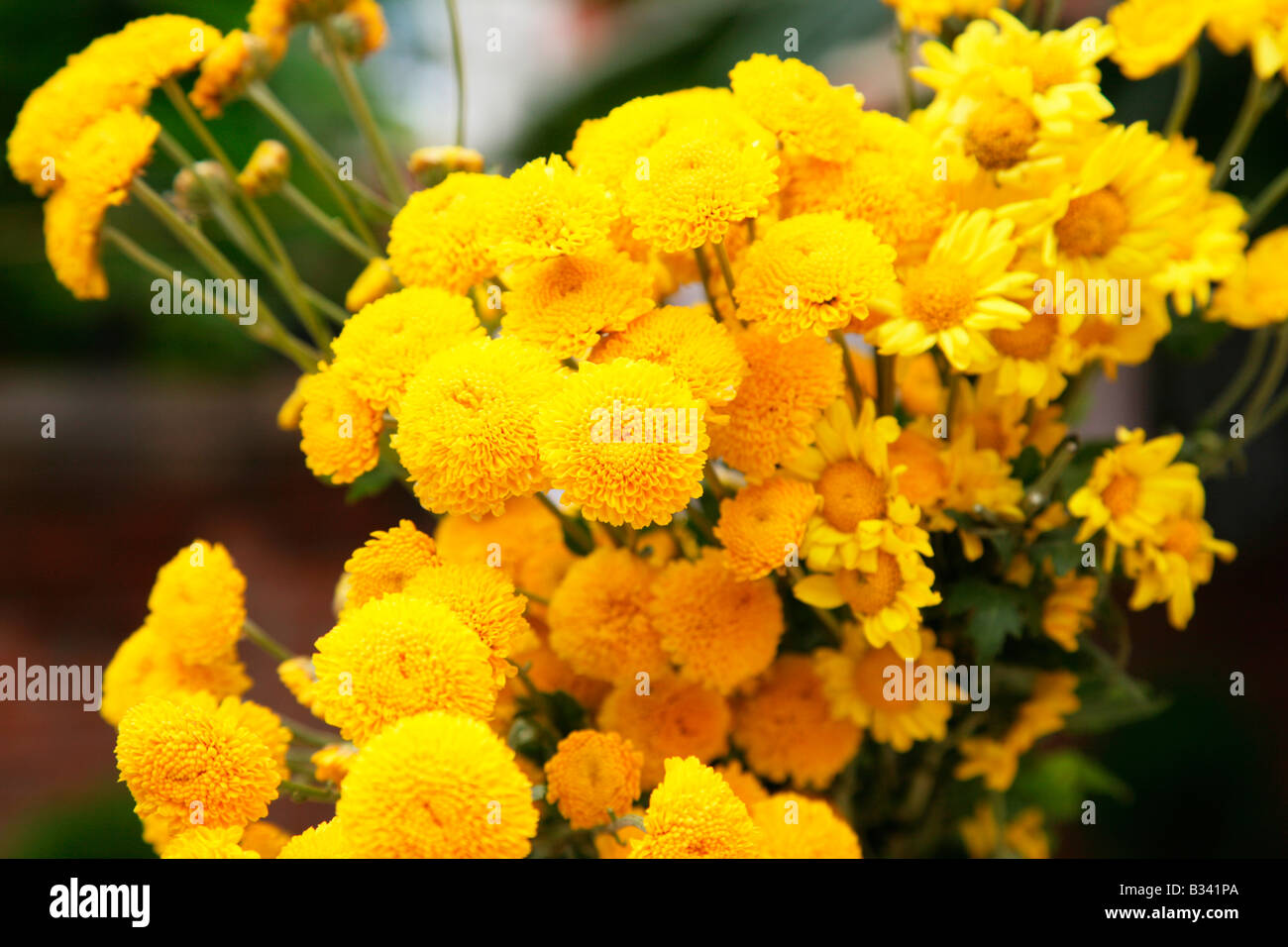 A bunch of yellow flowers stock photo 19143554 alamy a bunch of yellow flowers mightylinksfo