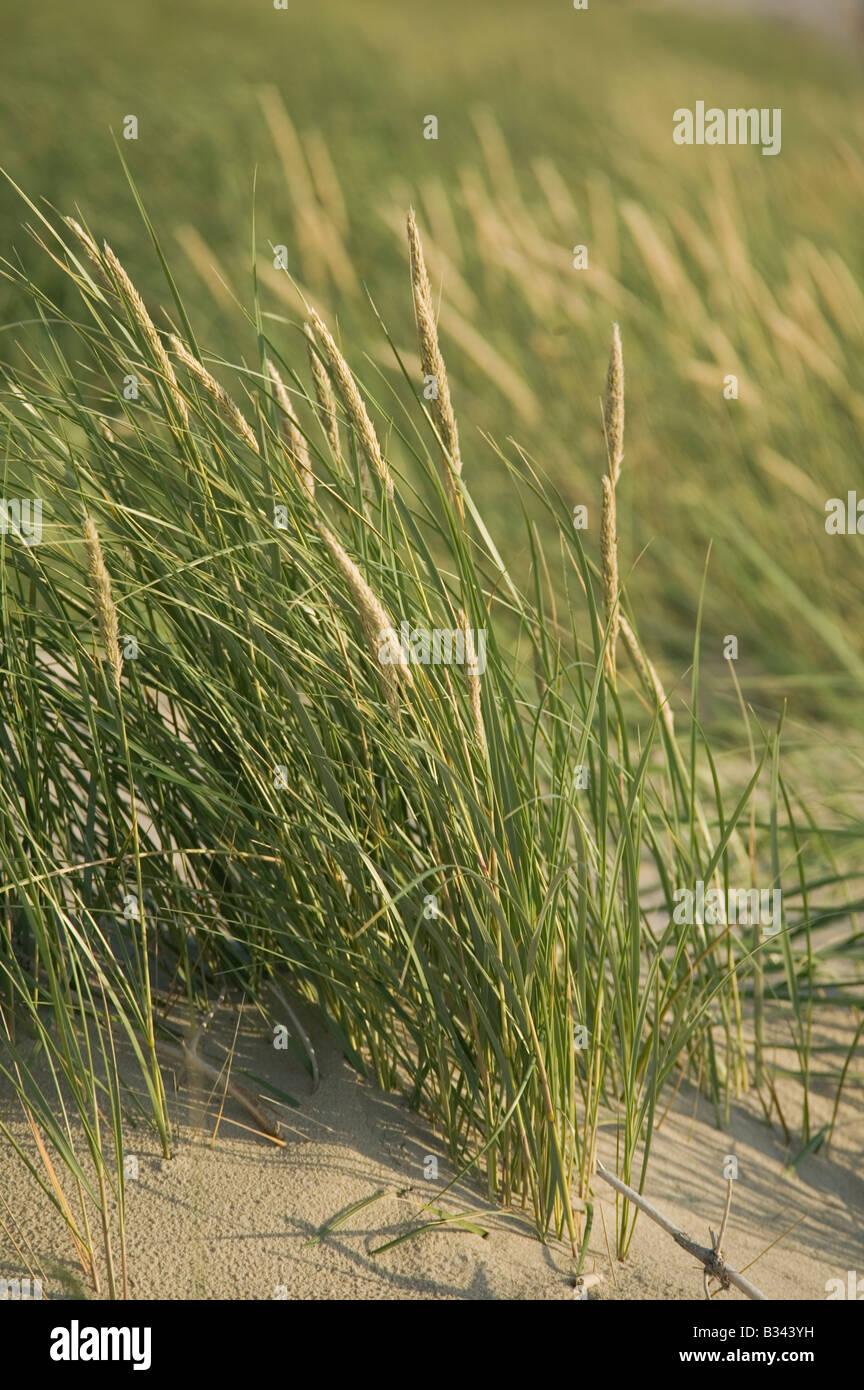 Maram grass on dunes along the Baltic coast nr Nida Curonian Spit National Park Lithuania - Stock Image