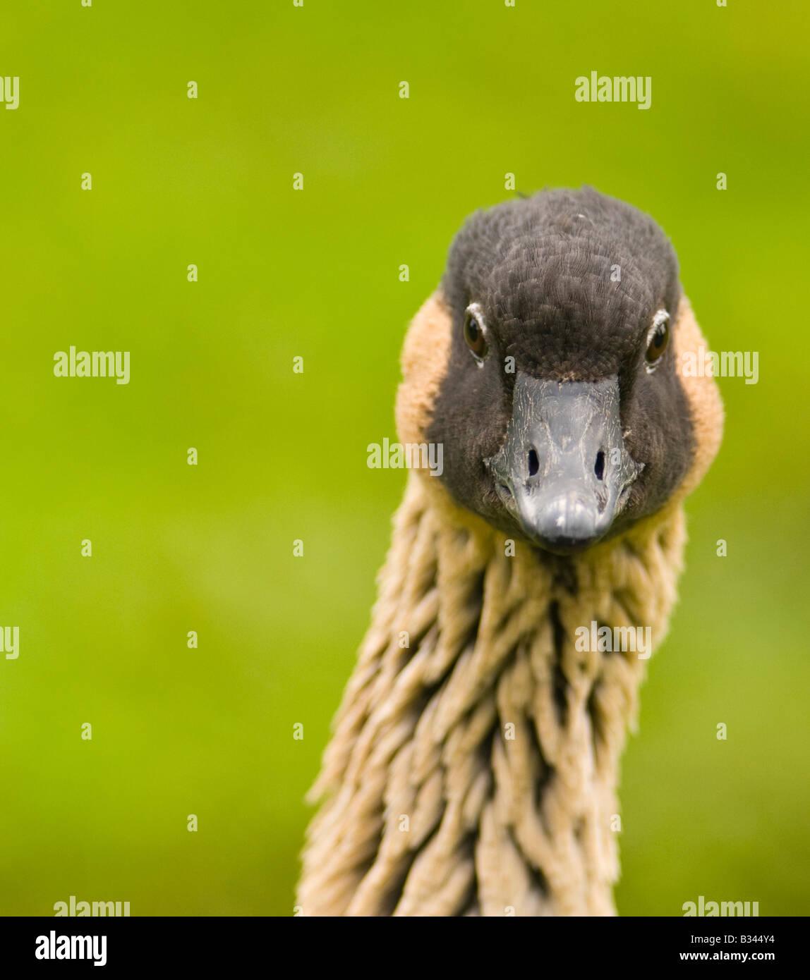 Beautiful Hawiian goose posing for my camera - Stock Image