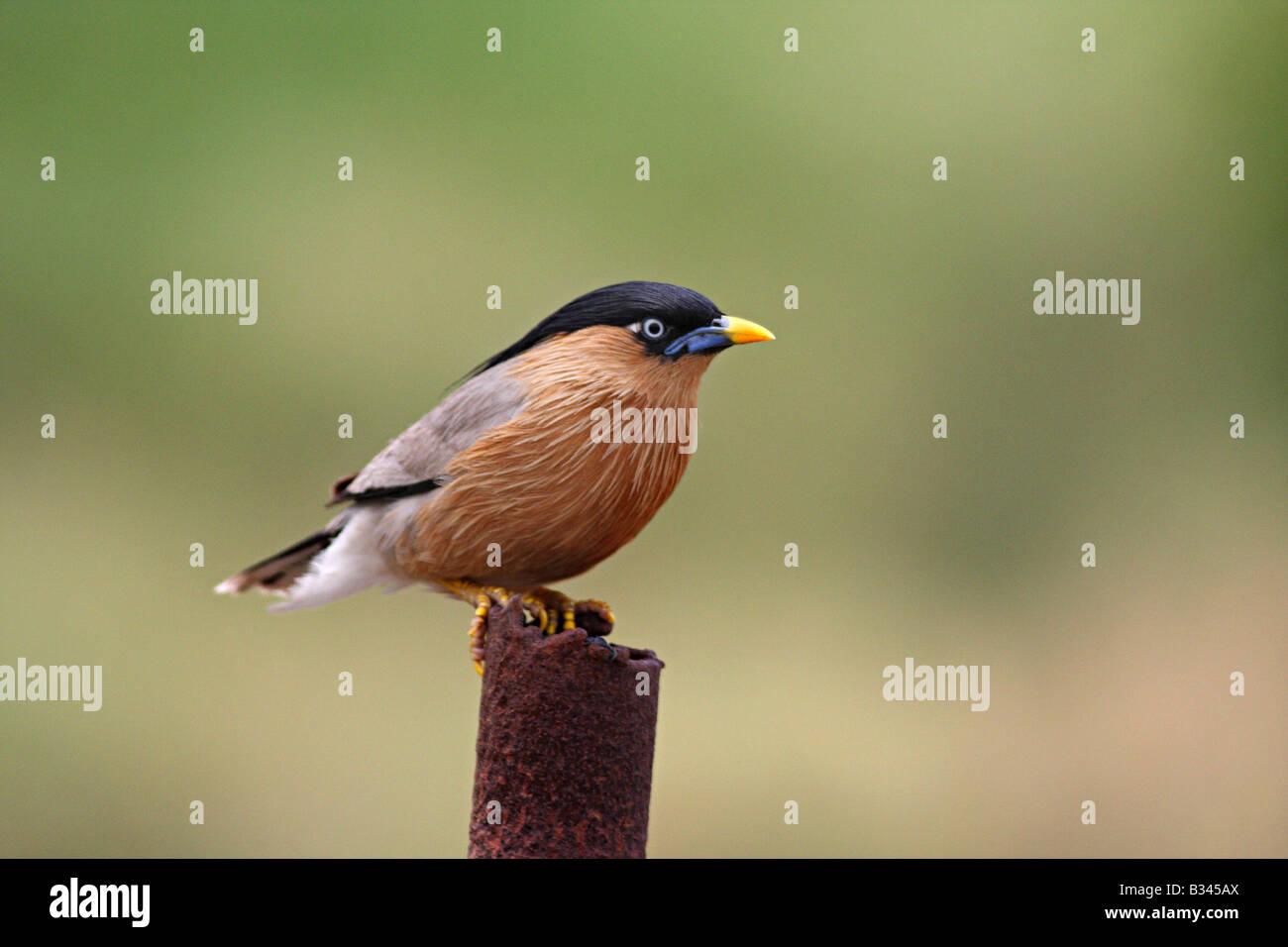 Brahminy starling, Sturnia pagodarum, Bhuleshwar, Pune Dist. - Stock Image