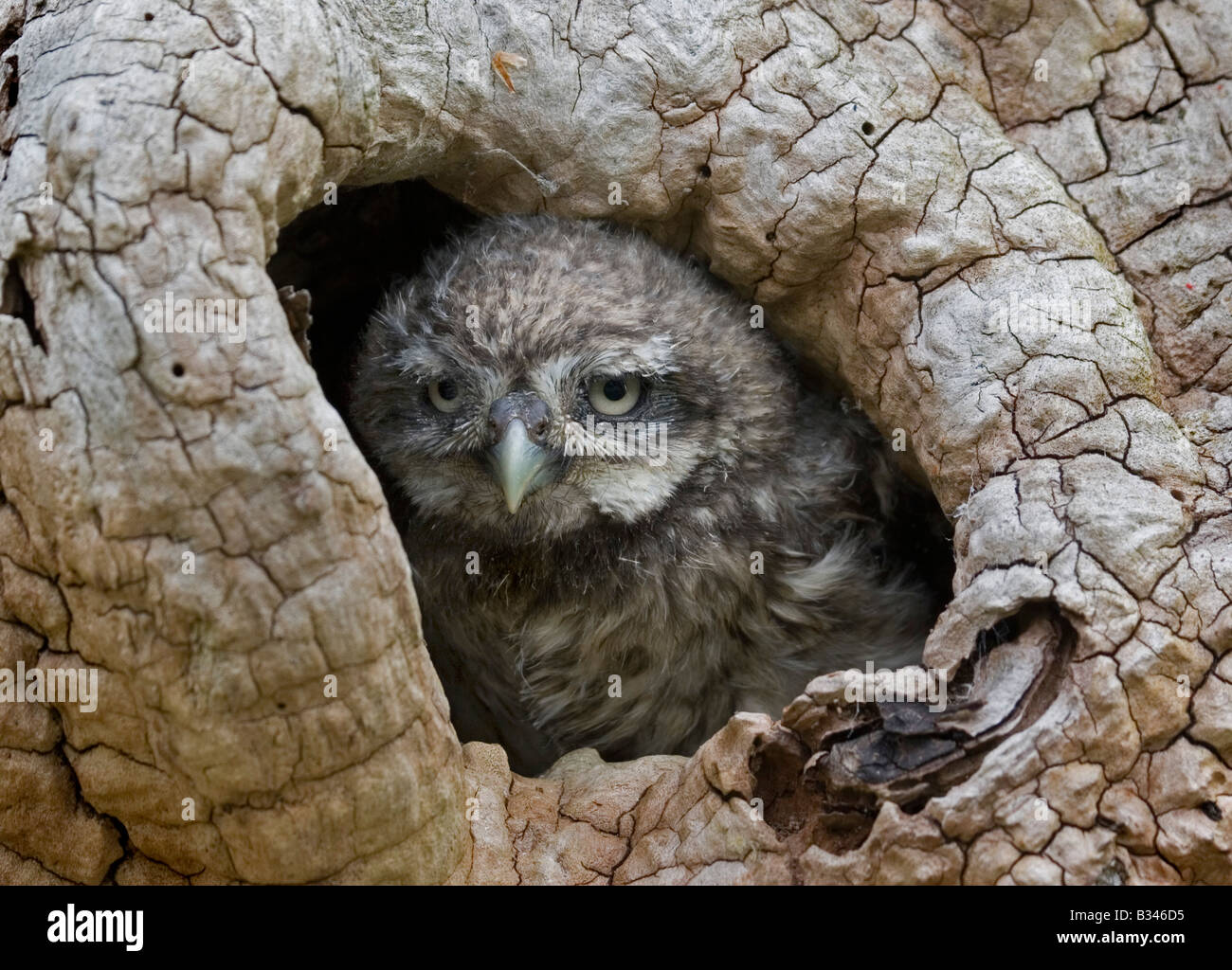 Baby Little Owl looking out of nest, portrait - Stock Image