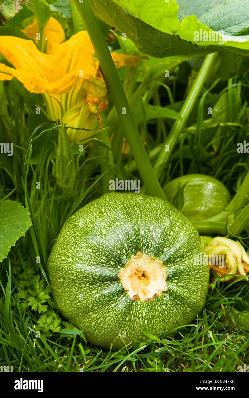 Round Courgette & Courgette Flower (Courgette Tondo Di Toscana) Growing in the Garden, Kent. England. - Stock Image