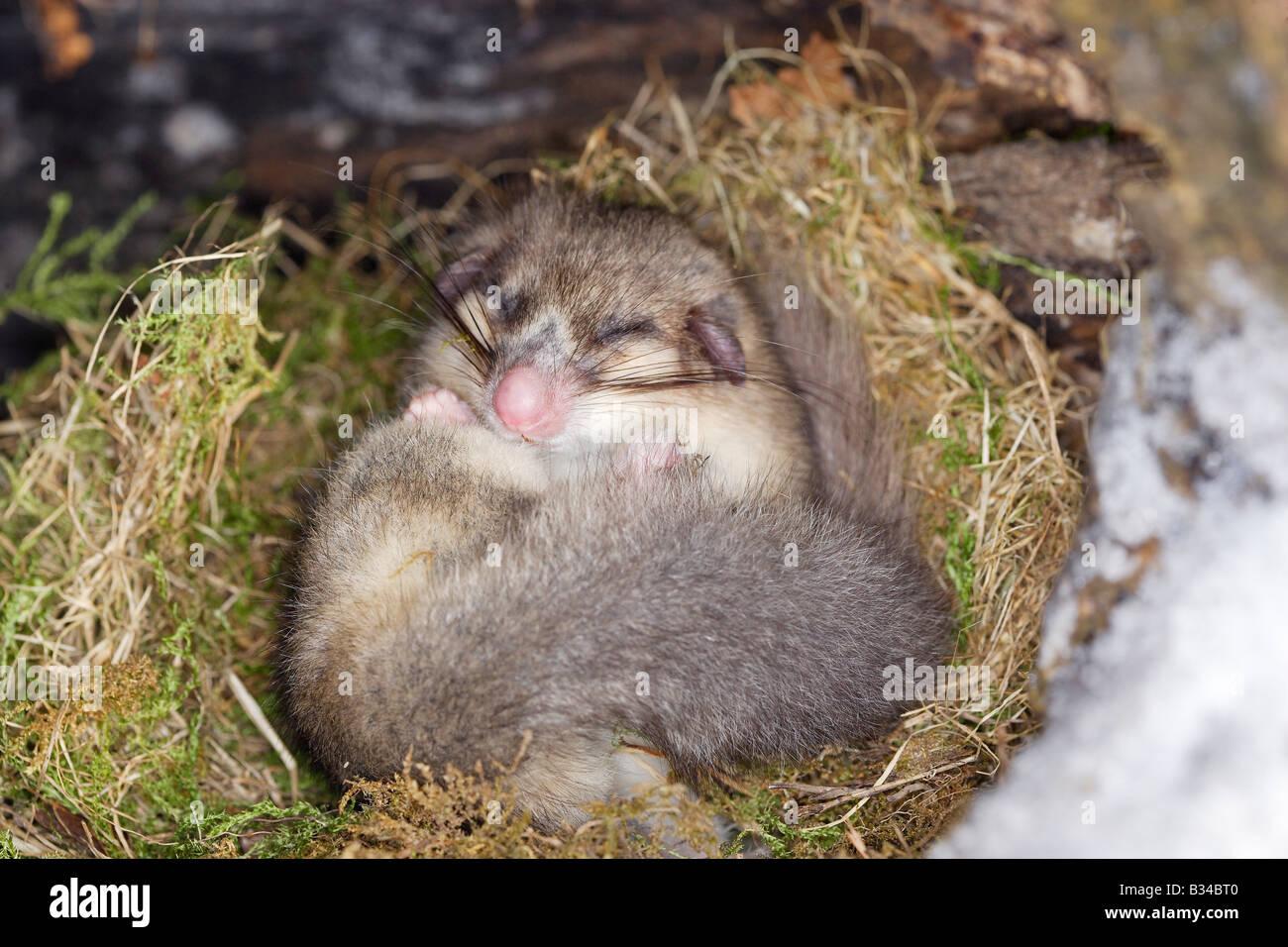 Edible Dormouse (Glis glis), hibernating - Stock Image