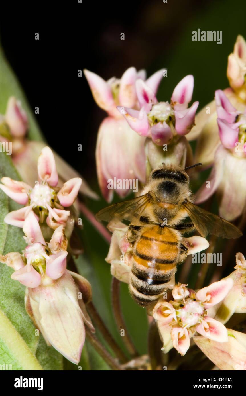 honey bee on milkweed flower - Stock Image