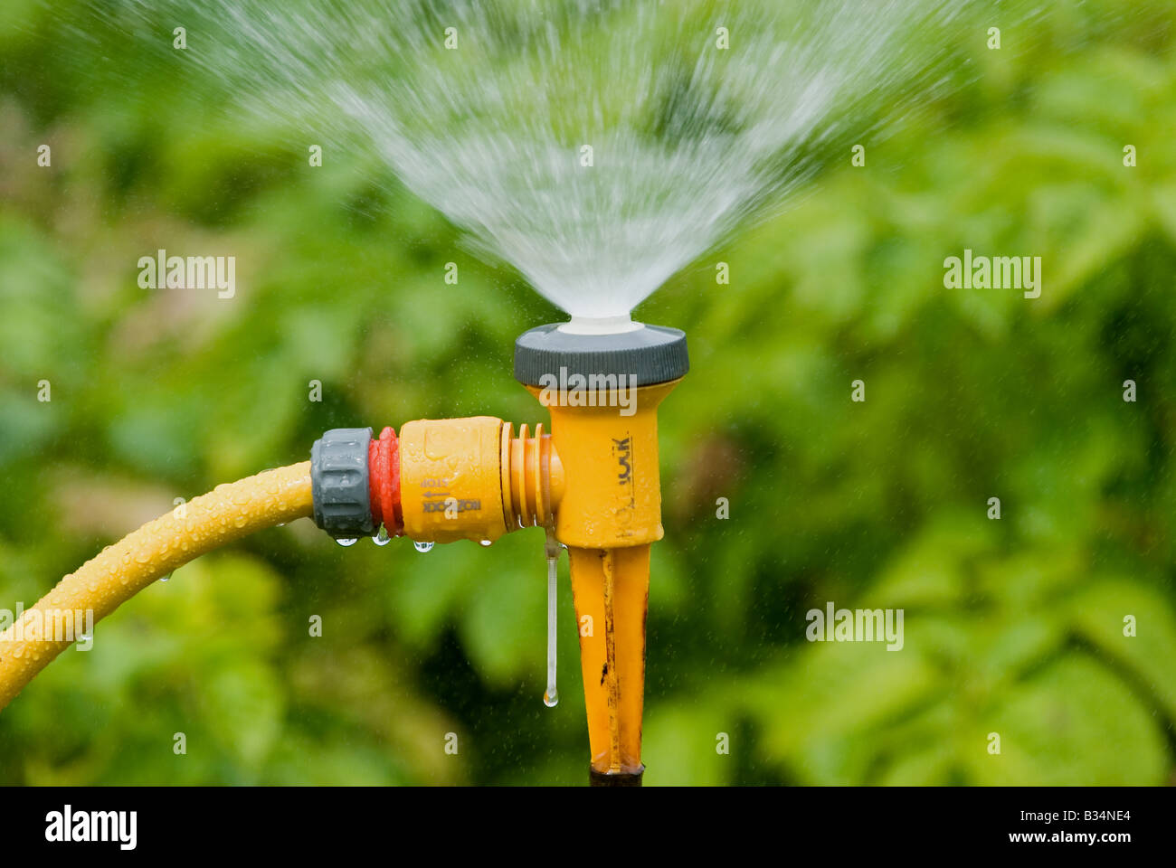 Water sprinkler watering vegetables in a garden in Bawdsey, Suffolk, UK. - Stock Image