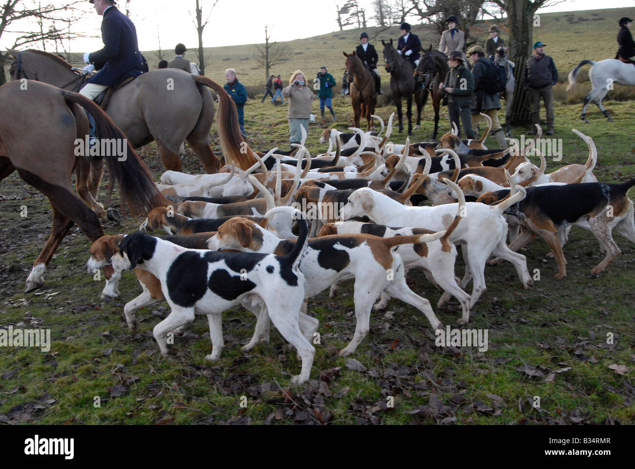 Foxhounds follow huntsmen at the Boxing Day Hunt, Petworth, Surrey, England - Stock Image