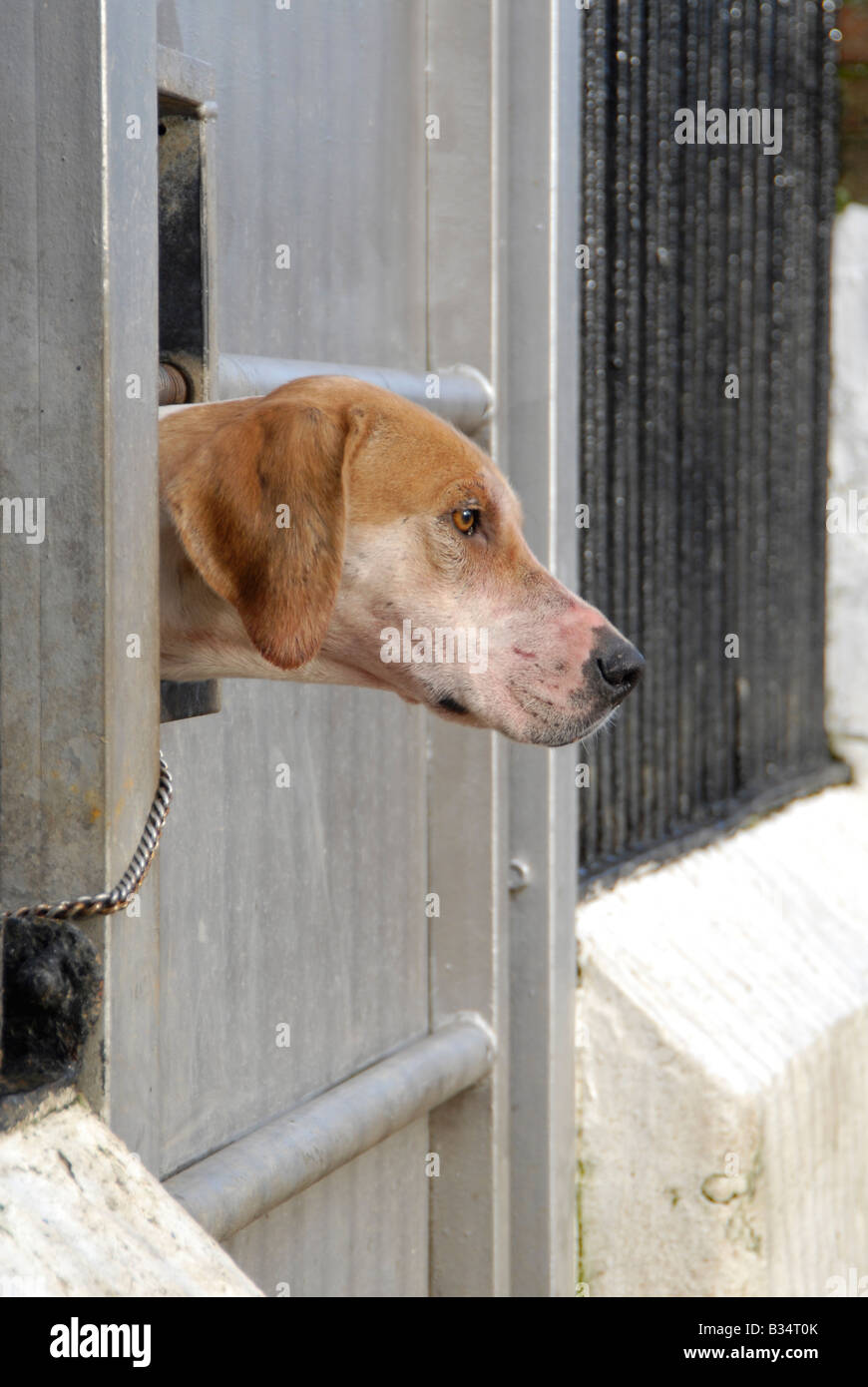 English foxhound looking through kennel bars - Stock Image