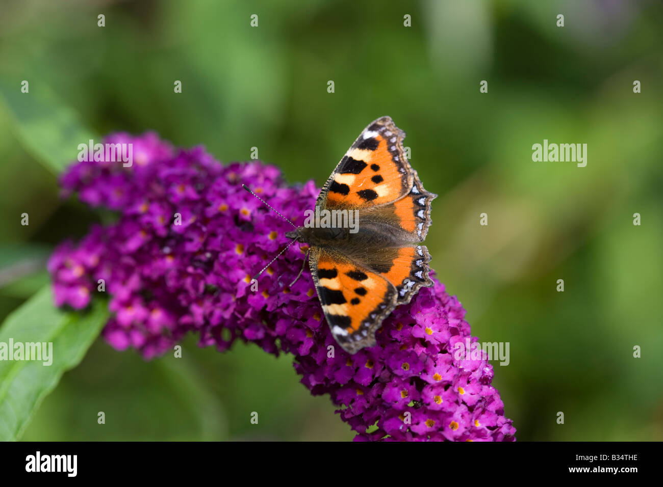 Tortiosehell butterfly on Buddleia - Stock Image