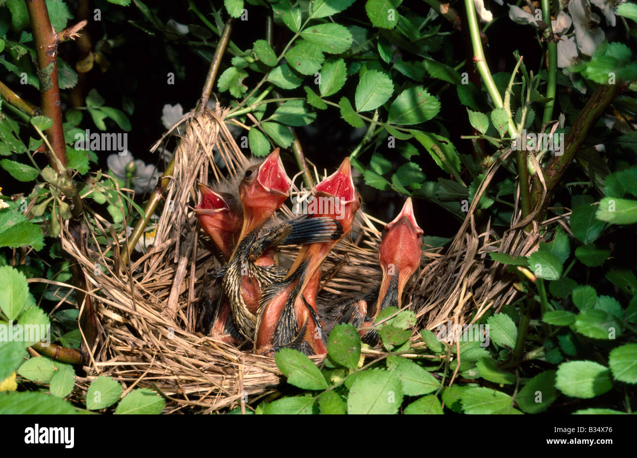 Red winged Blackbird Chicks - Stock Image