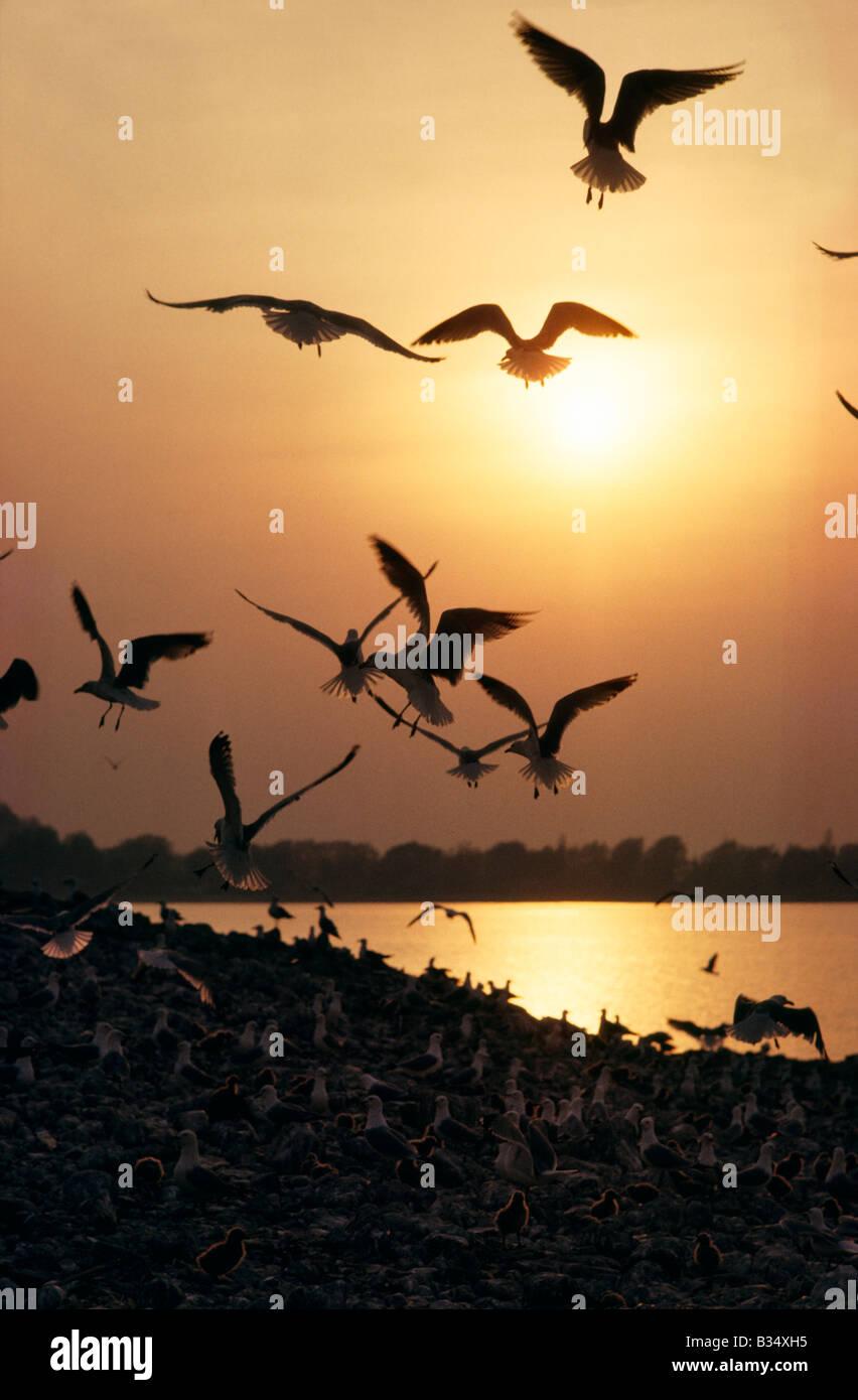 Ring billed Gulls Lake Erie - Stock Image