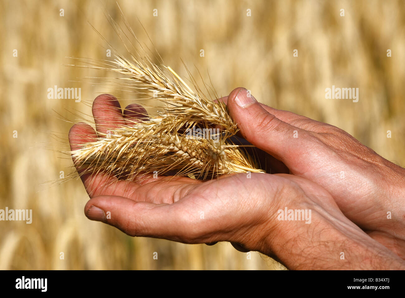 Rye heads in the palms of man - Stock Image