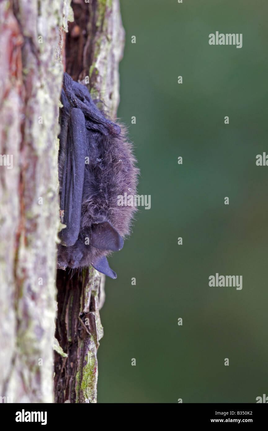 Whiskered bat  (Myotis mystacinus) , daytime torpor - Stock Image