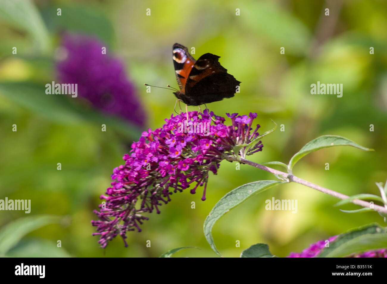 Peacock butterfly on Buddleia Stock Photo
