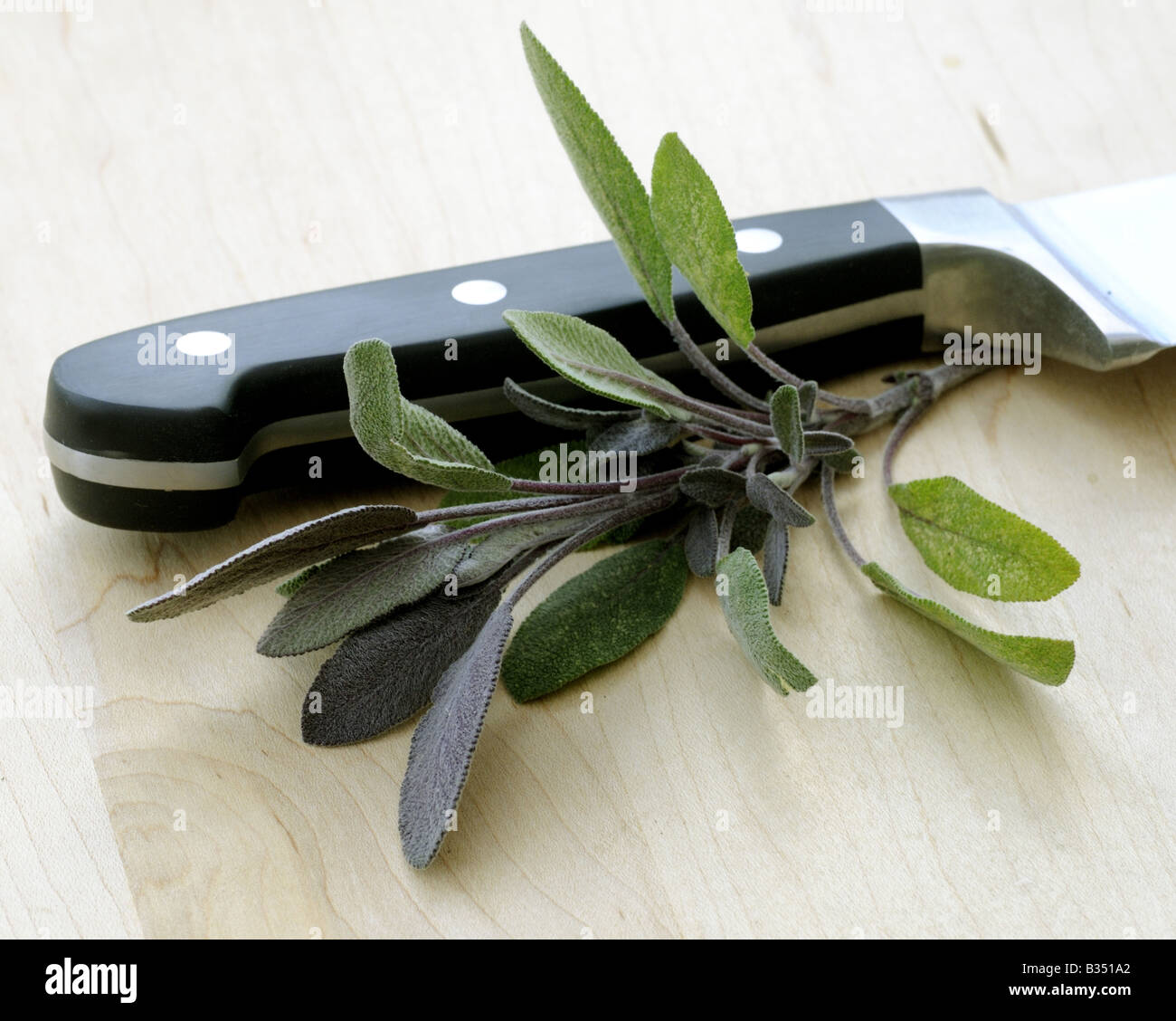 CULINARY HERBS HERB SAGE Salvia officinalis One of the most popular herbs used in cooking - Stock Image