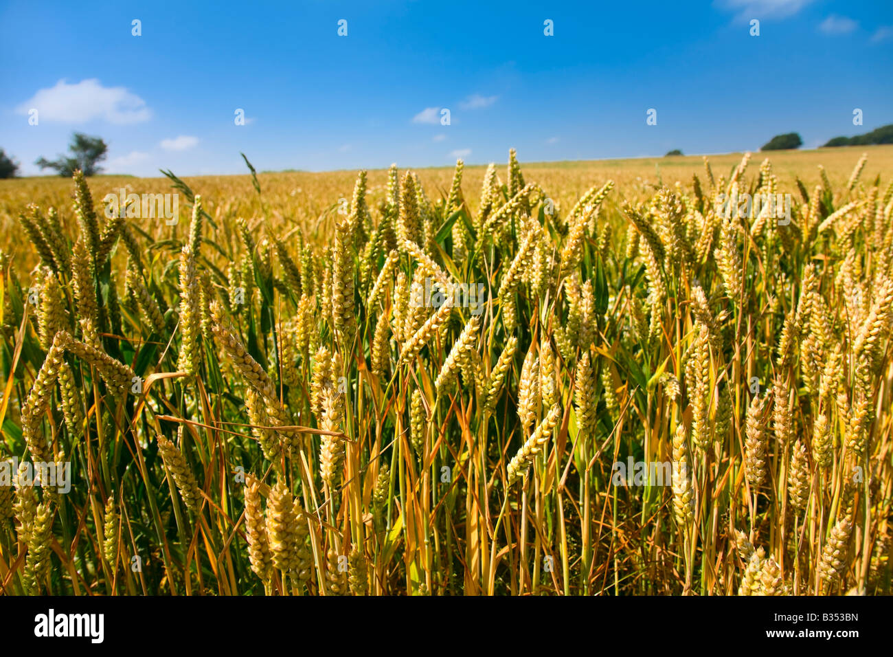 Summer Wheat Harvest Scene Stock Photo 19166777 Alamy