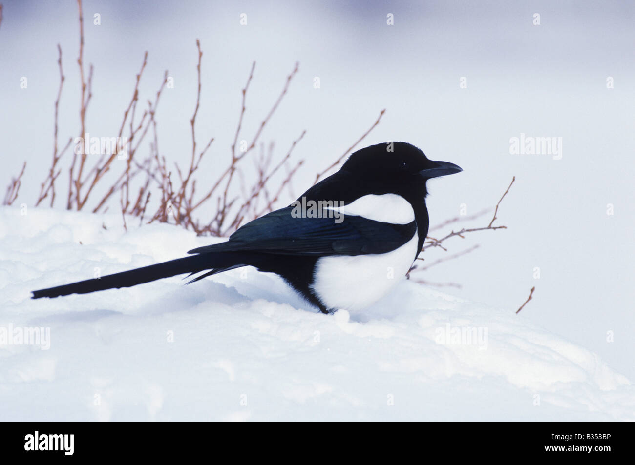 Black-billed Magpie Pica hudsonia adult in snow Rocky Mountain National Park Colorado USA - Stock Image