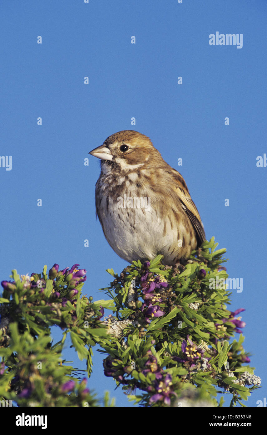 Lark Bunting Calamospiza melanocorys male in winter plumage perched on blooming Guayacan  Rio Grande Valley Texas - Stock Image
