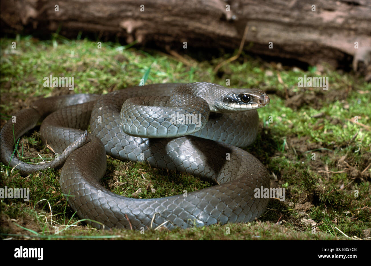 Blue Racer Coluber constrictor foxi - Stock Image
