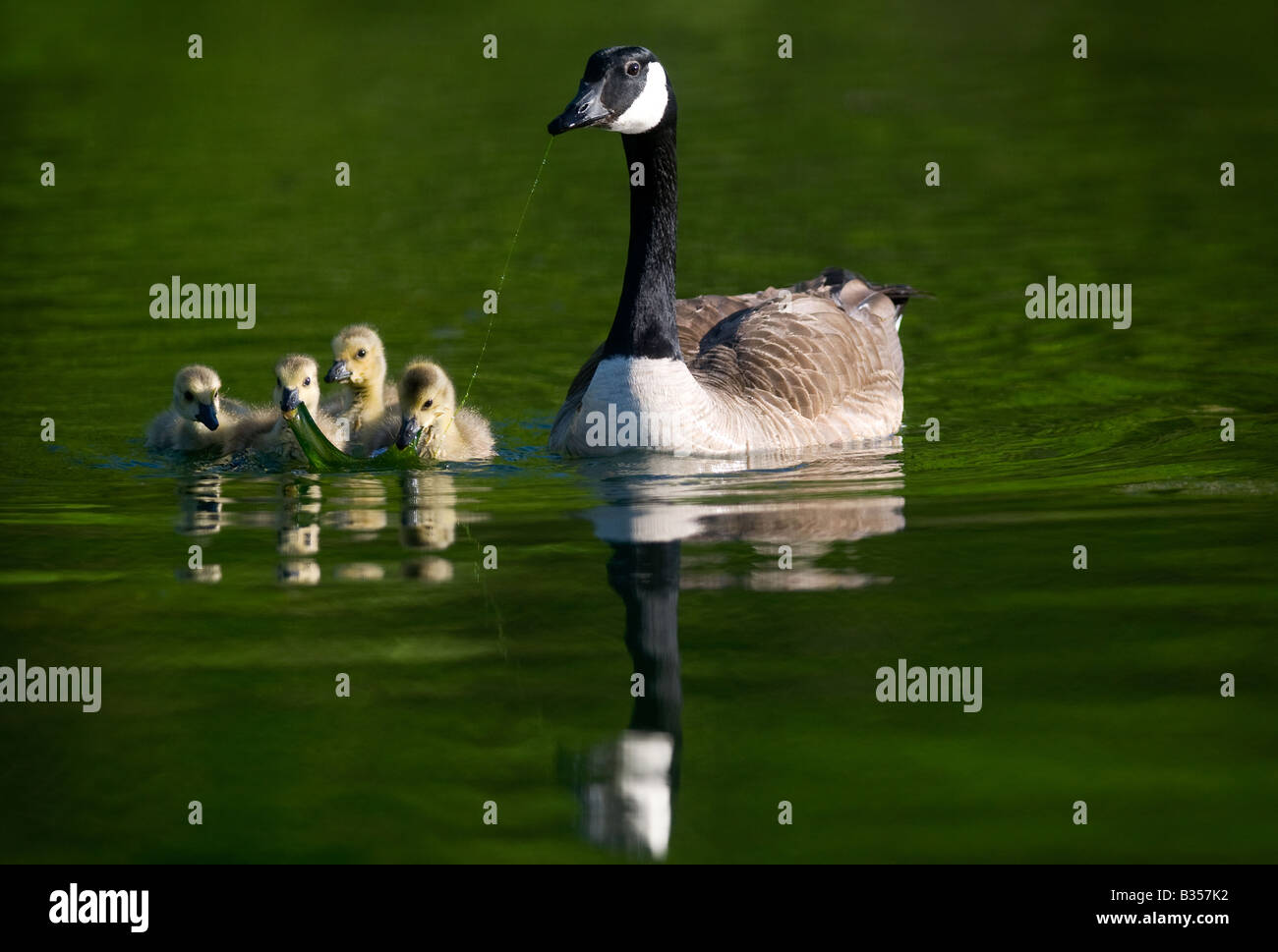 A Canada goose and her goslings feed on Lake Windsor in Bella Vista, Arkansas, U.S.A. - Stock Image