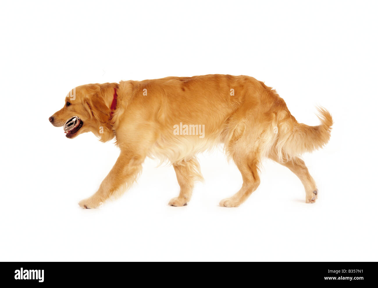 landscape format colour picture of a golden retriever carrying a newspaper - Stock Image