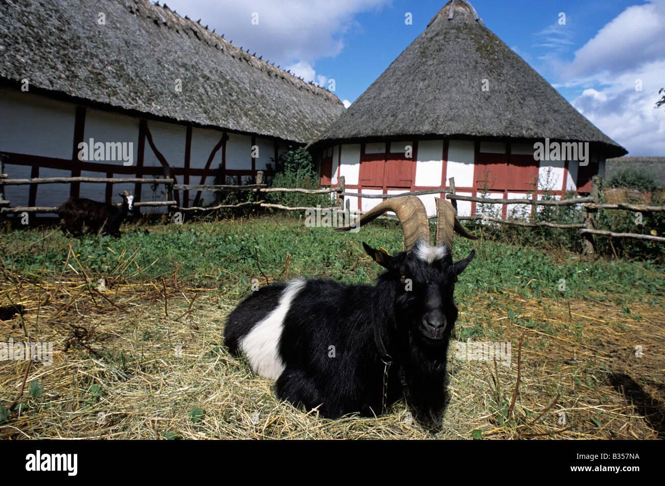 Denmark Odense Den Fynske Landsby The Funen Village goat Stock Photo