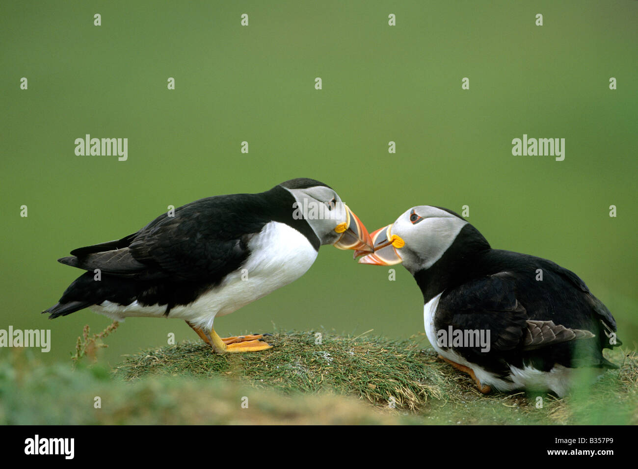 Atlantic Puffin (Fratercula arctica), couple in courtship display bill rubbing Stock Photo