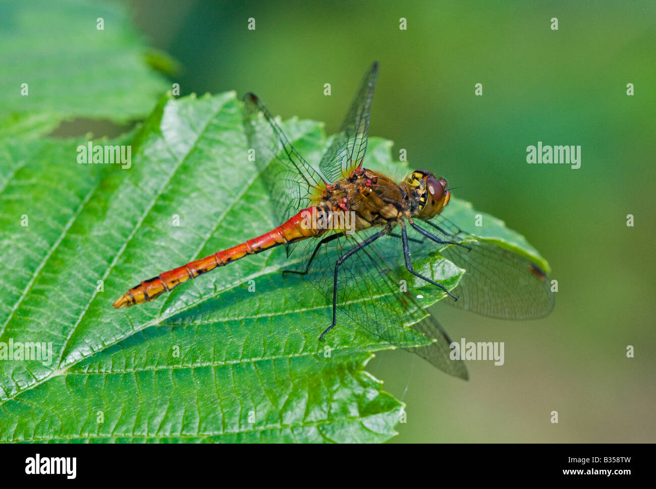 Common Darter dragonfly (Sympetrum striolatum), male at rest Stock Photo