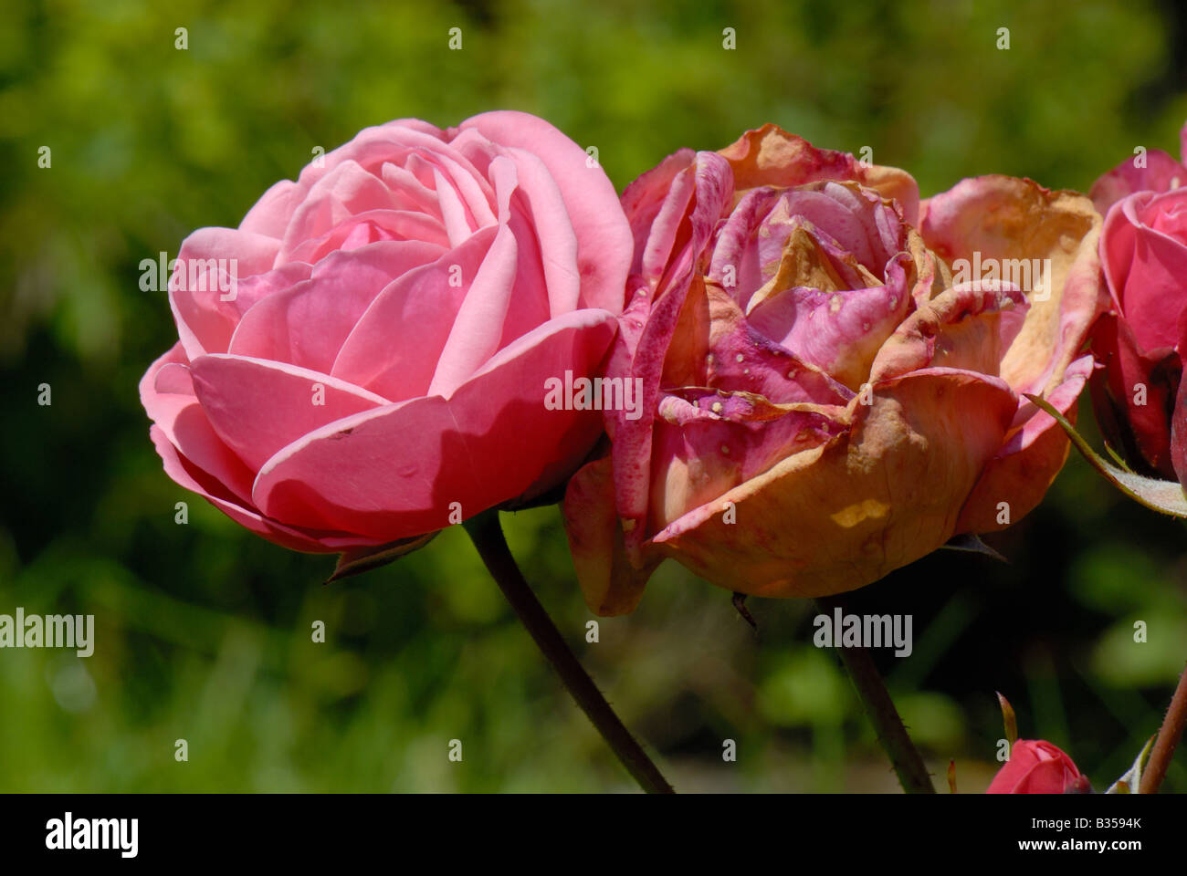 Rose flowers affected by grey mould Botrytis cinerea in damp weather - Stock Image