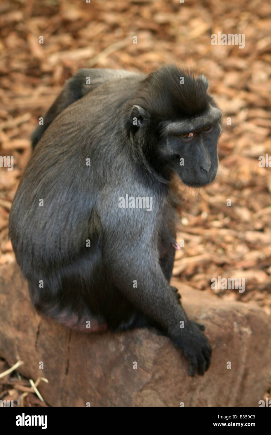 Sulawesi / Celebes Crested Black Macaque [Chester Zoo, Chester, Cheshire, England, Great Britain, United Kingdom, - Stock Image