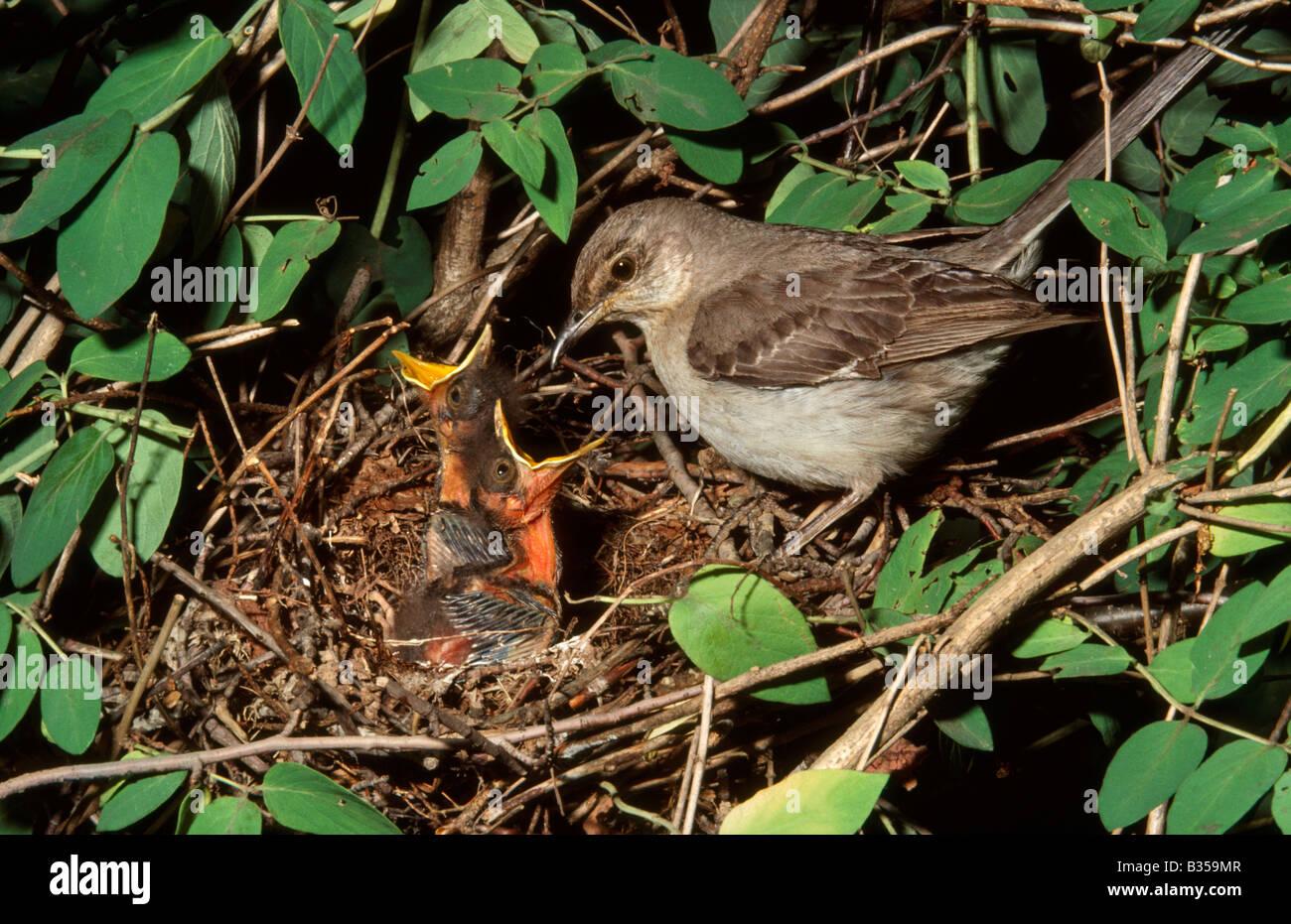 Northern mockingbird (Mimus polyglottos) with chicks, New Jersey, USA Stock Photo