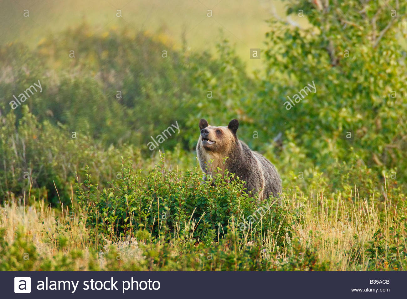 A grizzly bear (Ursus arctos) hunts for food in a meadow located in the Many Glacier section of Glacier National - Stock Image
