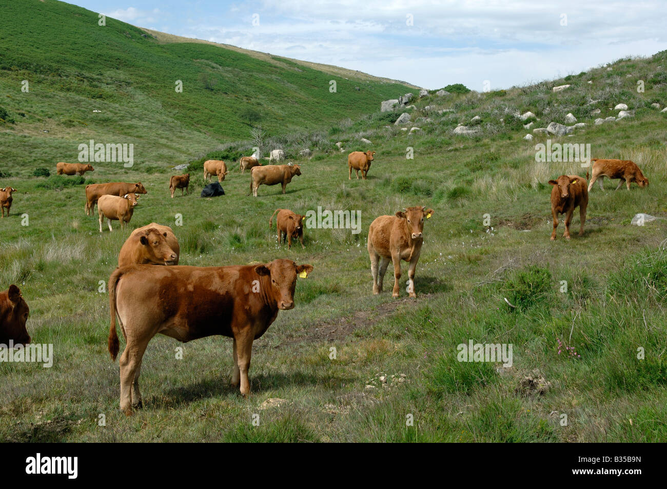 British Limousin cows grazing close to the River Dart in Darmoor National Park - Stock Image