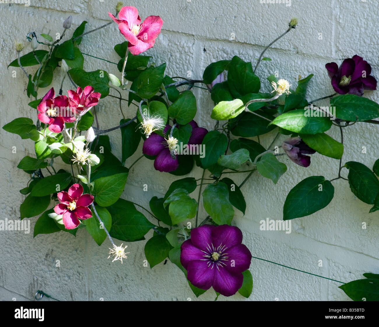 Clematis with purple and pink flowers climbing up a wall - Stock Image