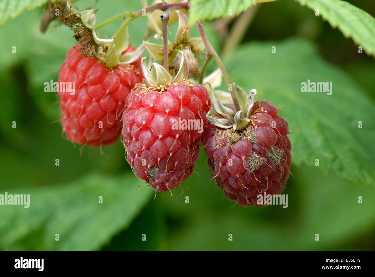 Ripe raspberry fruit affected by grey mould Botrytis cinerea in damp weather - Stock Image