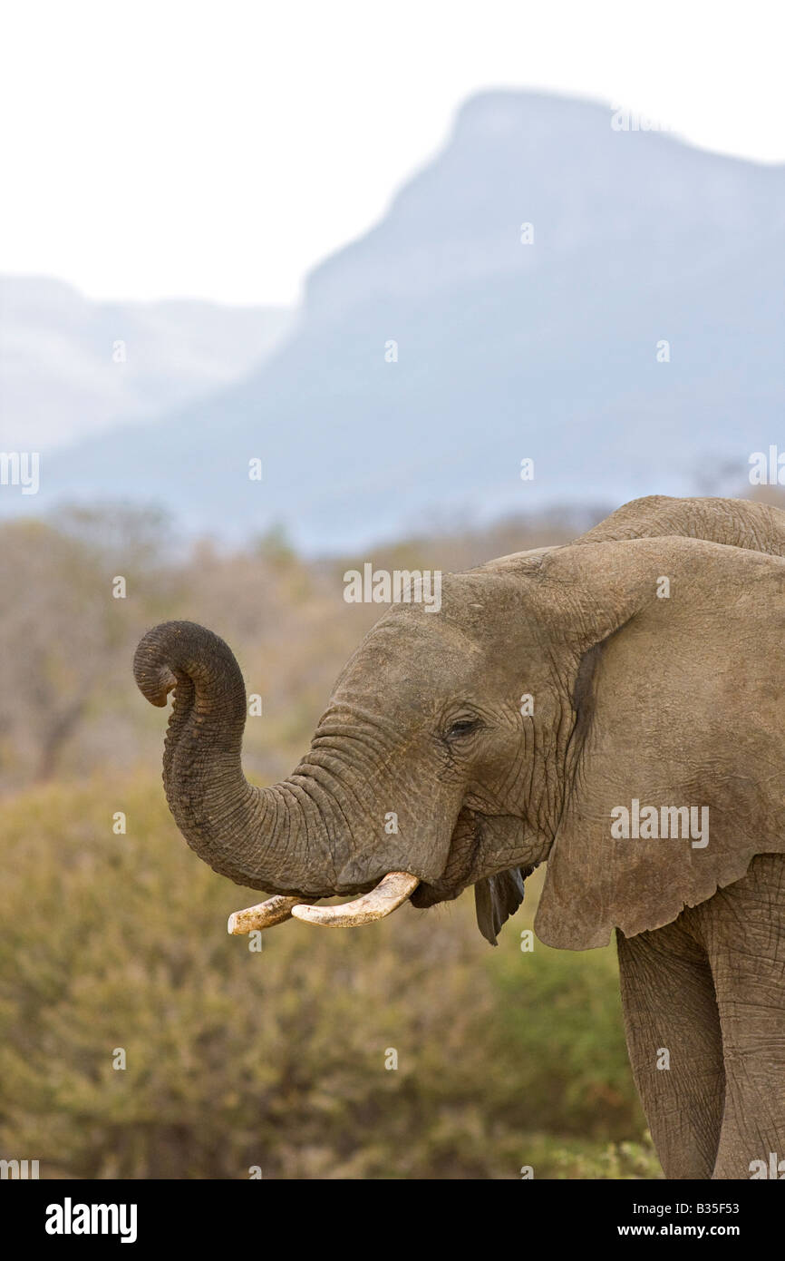 Elephant at Camp Jabulani safari game park near Hoedspruit South Africa - Stock Image