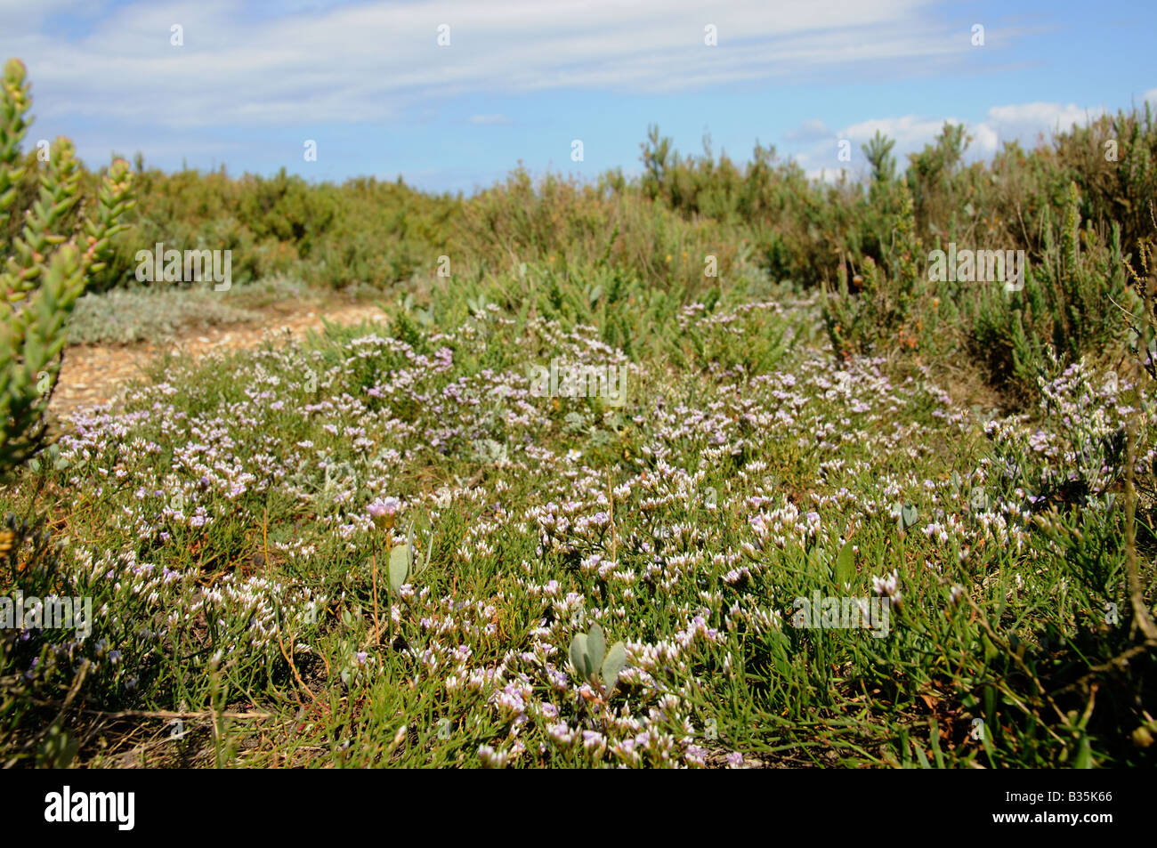 Coastal habitat showing Matted Sea Lavendar limonium bellidifolium growing amongst Suaeda fruticosa maritima - Stock Image