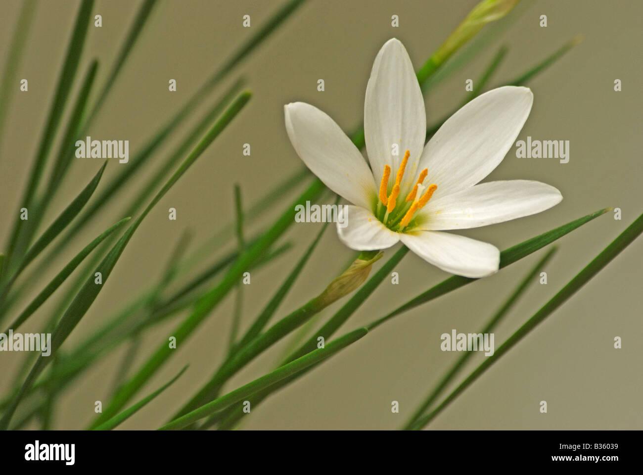 White Rain Lily Flower Stock Photo 19186141 Alamy