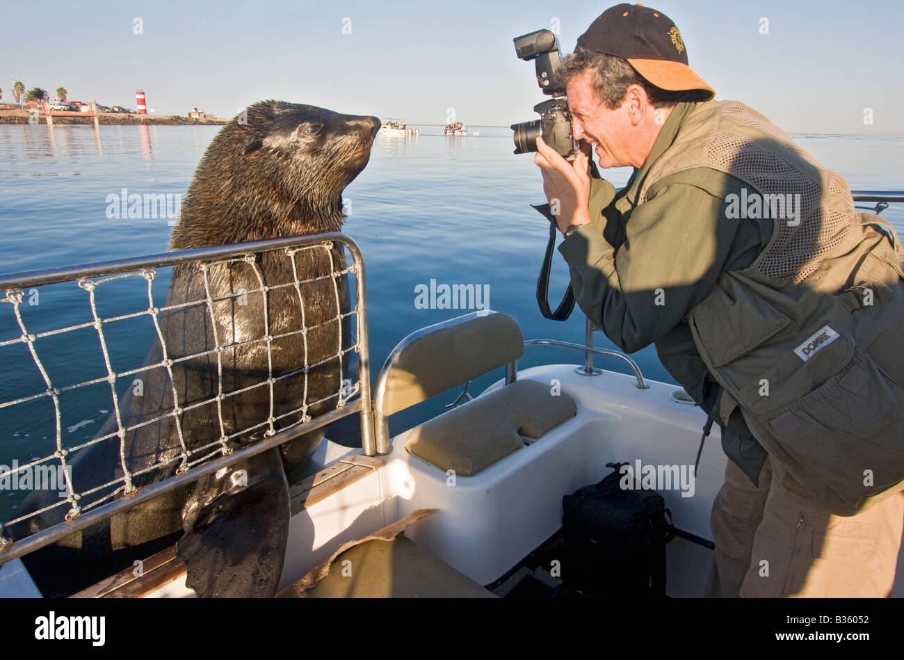 Visiting man photographs Robbie the Cape fur seal who comes to greet tour boats in Walvis Bay in Namibia Africa - Stock Image