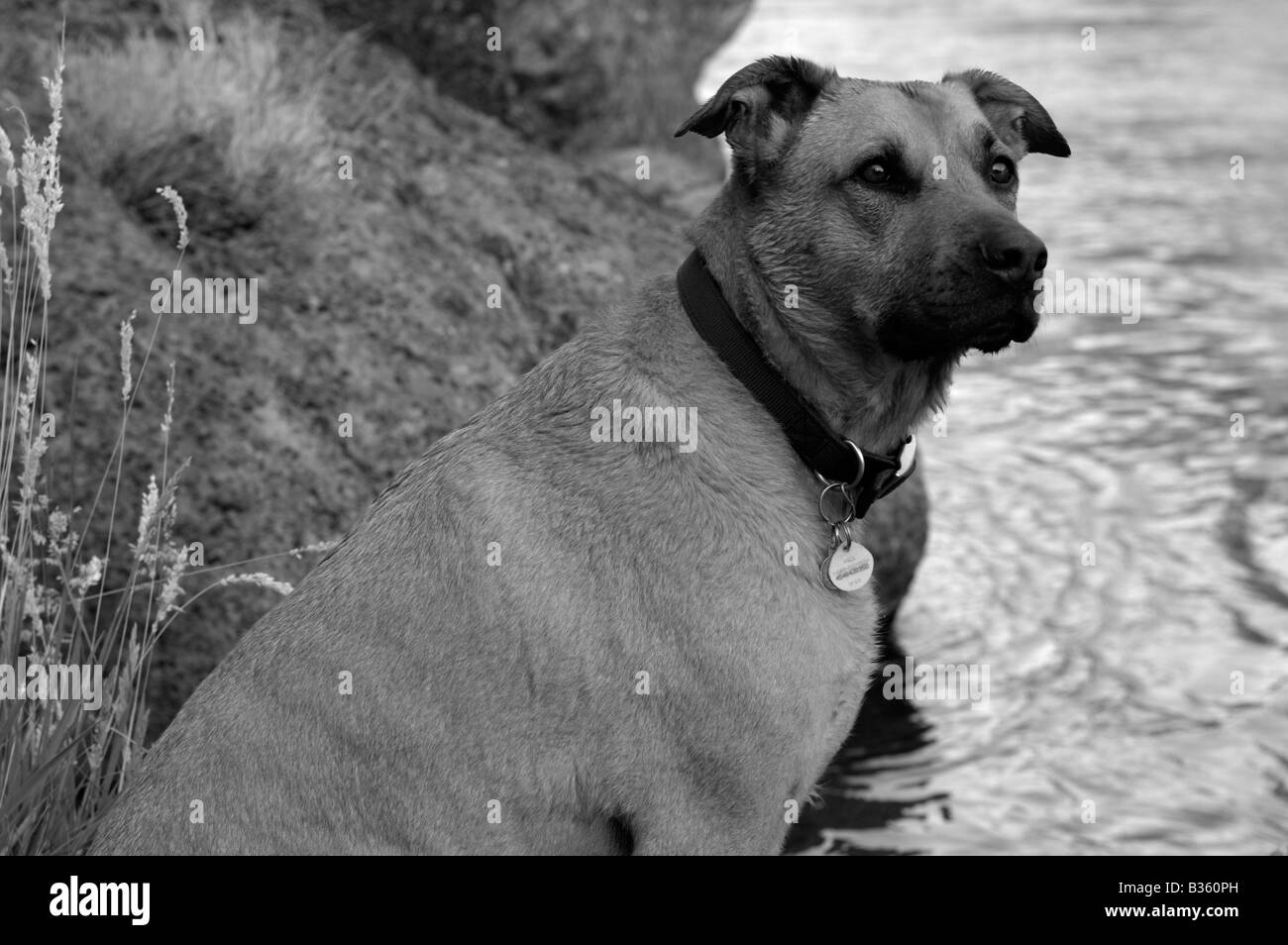 A black and white photo of a big brown dog looks regally off into the distance on the bank of a mountain river. Stock Photo