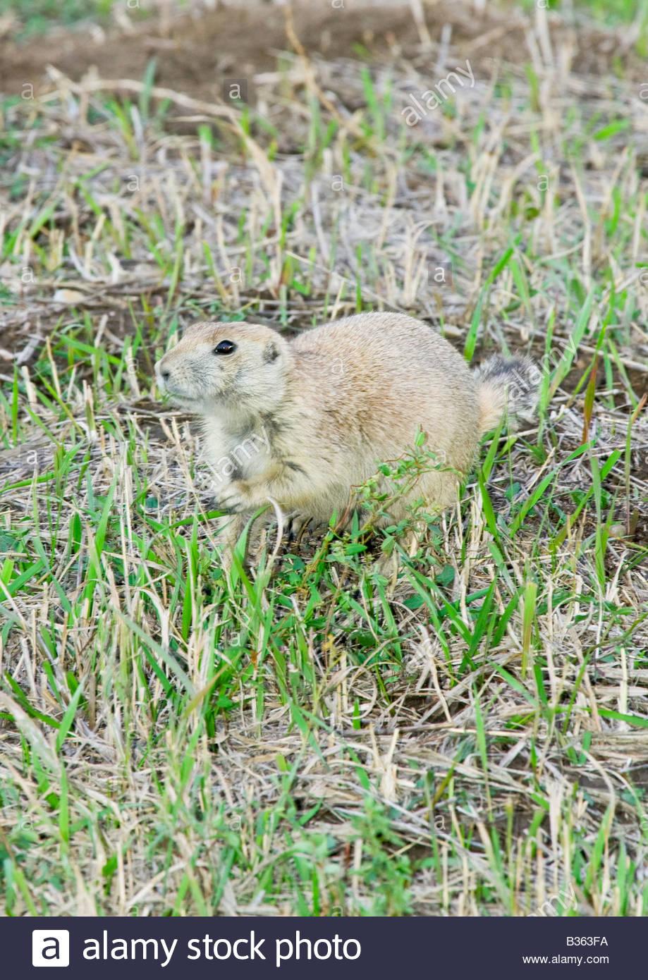 Badlands National Park prairie dog having a snack - Stock Image