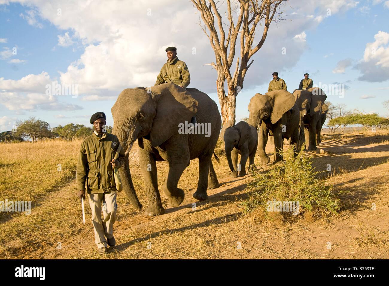 Elephant safari ride at Camp Jabulani upscale safari game park near Hoedspruit South Africa - Stock Image