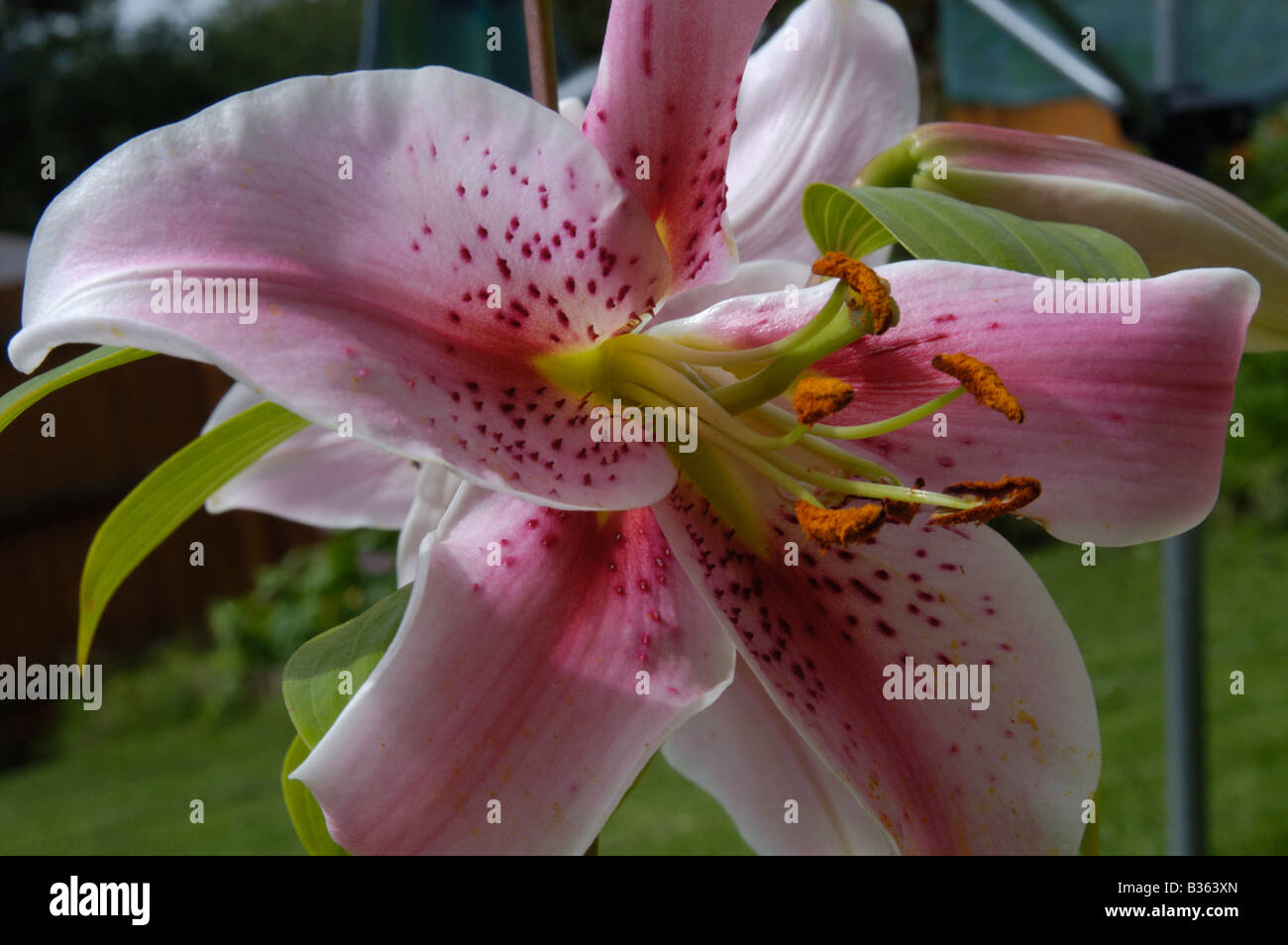 Asiatic lily flower stock photos asiatic lily flower stock images asiatic lily flower head stock image izmirmasajfo