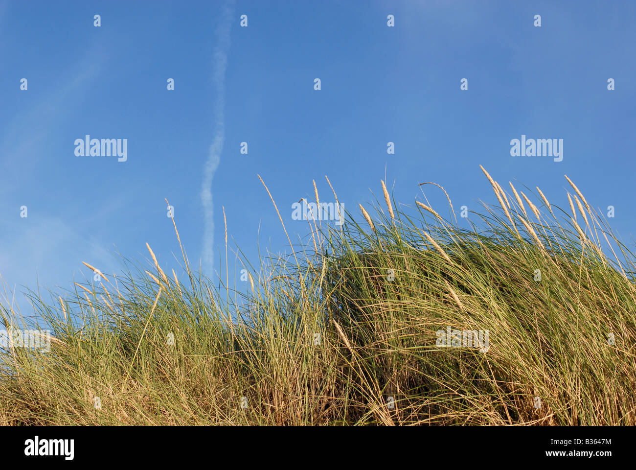 Marram beach grass blowing in the coastal breeze along Talacre Beach, North Wales - Stock Image